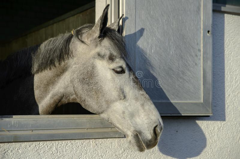 Head of a thoroughbred gray white horse looks out the window of royalty free stock image