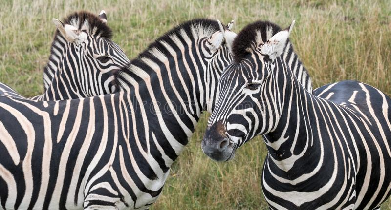 Head of three zebras, photographed in the grass at Port Lympne Safari Park, Ashford, Kent UK. Head of three striped zebras looking in different directions stock images