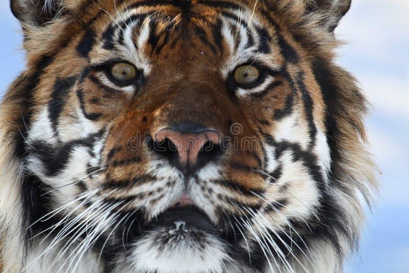 head tiger royaltyfri fotografi