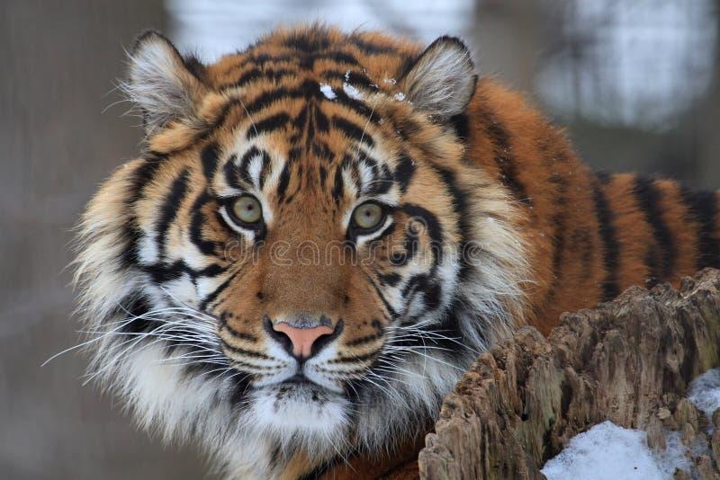 head tiger royaltyfri bild