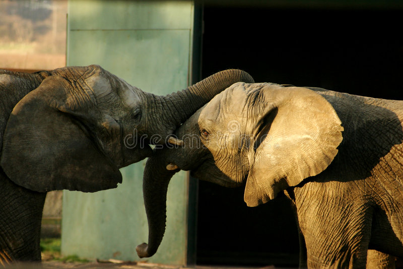 Download Head to Head stock image. Image of ears, prtessure, elephants - 117113