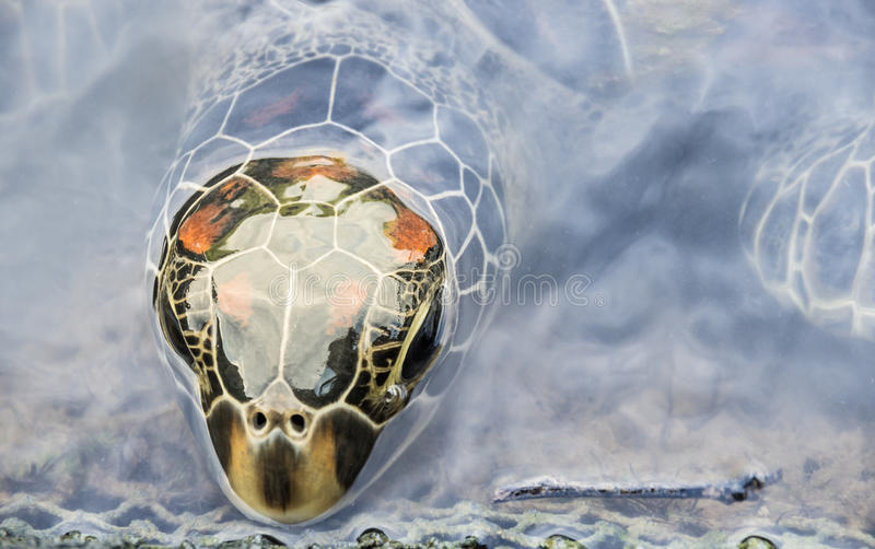 Head Of A Turtle Coming Out From The Water Surface Royalty Free Stock Photography