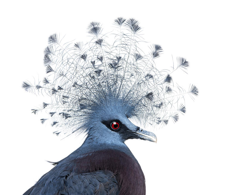 Download Head Of Victoria Crowned Pigeon Stock Image - Image of isolated, studio: 30340927