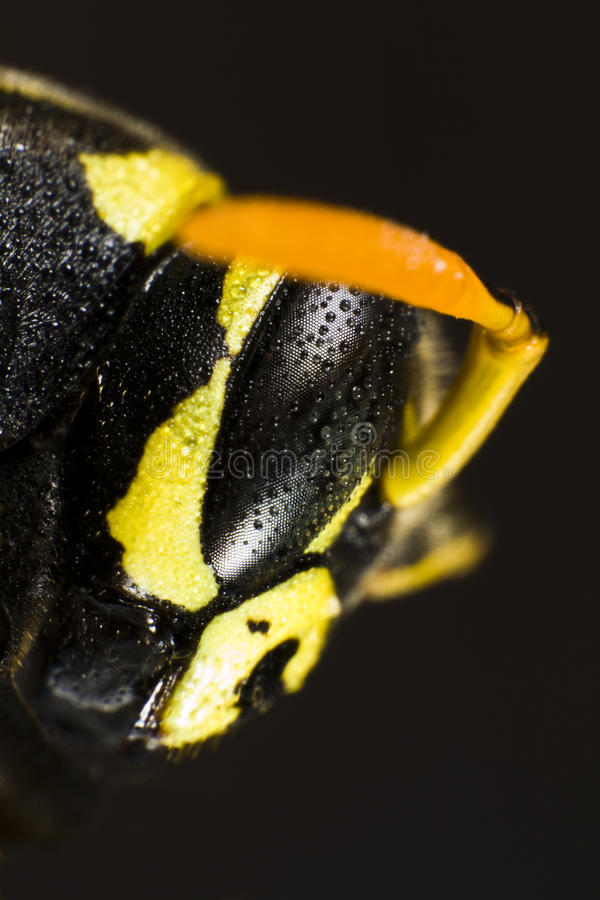 Head of wet wasp in extreme close up