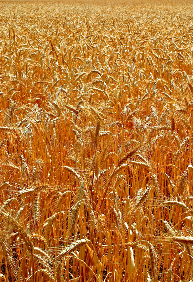 Download Head of wheat stock photo. Image of gold, nutrition, yellow - 7700832