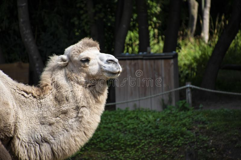 Head of a white Bactrian camel, Camelus bactrianus is a large, even-toed ungulate native to the steppes of Central Asia.  stock photography