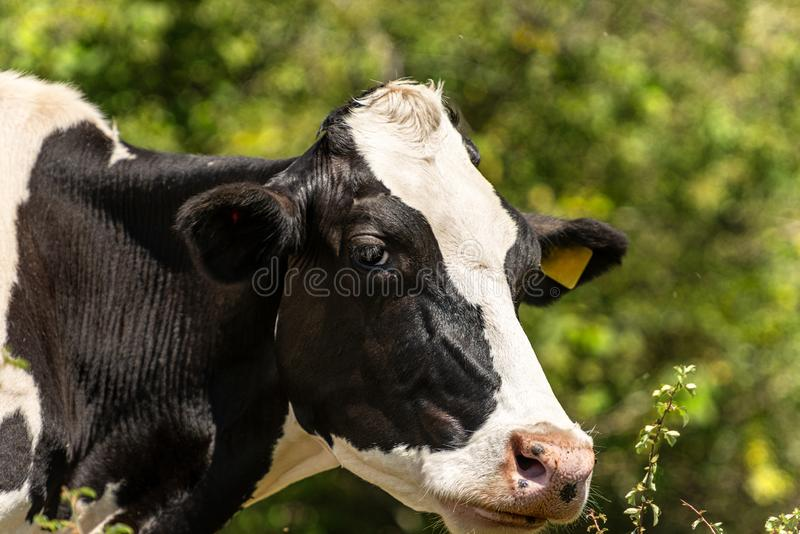 Head of a white and black dairy cow - Friesian cattle. Friesian cattle, Head of a white and black dairy cow. Italian Alps, Europe royalty free stock photo