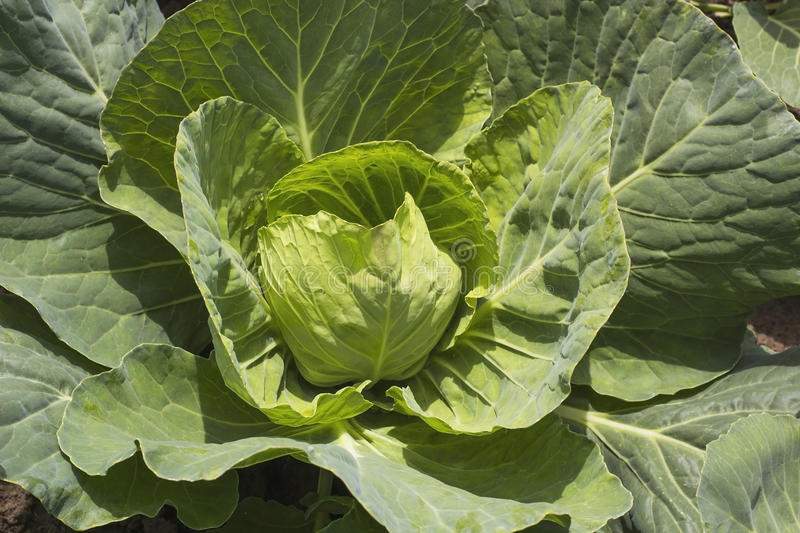 Head of White cabbage growing in garden top view royalty free stock photography