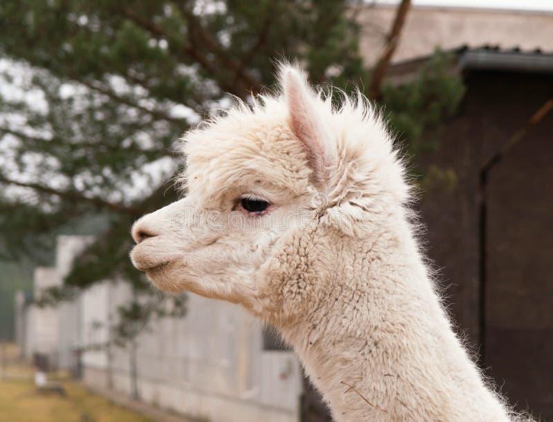 Lama guanaco - lama glama royalty free stock image