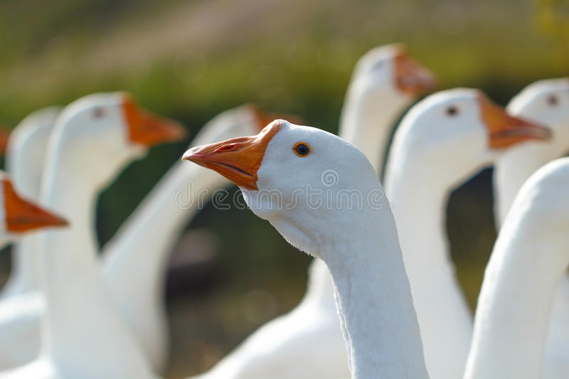 Head of a white goose compared to other geese royalty free stock photos