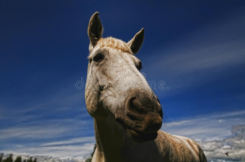 Download Head of a white horse stock photo. Image of agricultural - 14616518