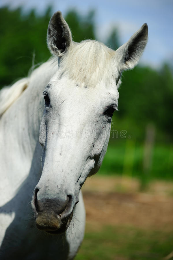 Head Of A White Horse Royalty Free Stock Image