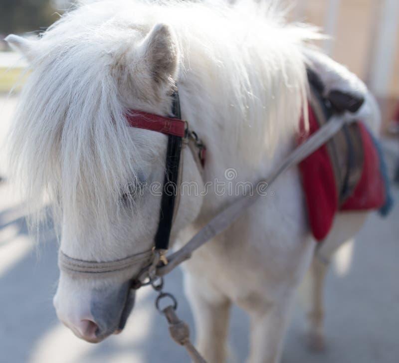 The head of a white horse stock photos