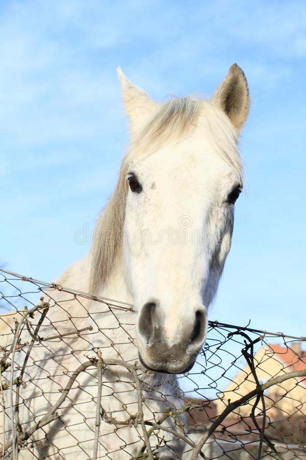 Head of white horse royalty free stock photo