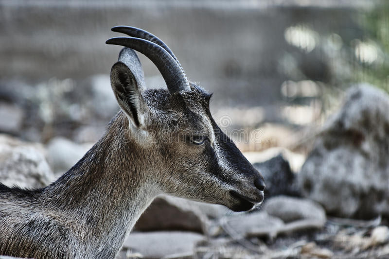 The head of a wild goat Kri-Kri royalty free stock photo
