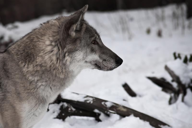 2 175 Wolf Profile Photos Free Royalty Free Stock Photos From Dreamstime