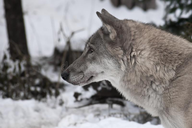 Head of a wolf in profile, close-up on a background of white snow royalty free stock images