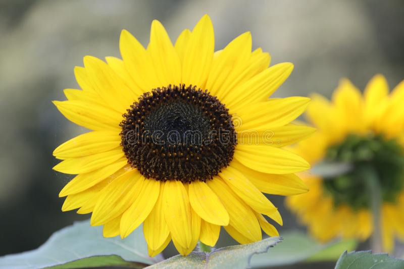 Head of the yellow sunflower in a garden in the Netherlands on the Veluwe royalty free stock photos