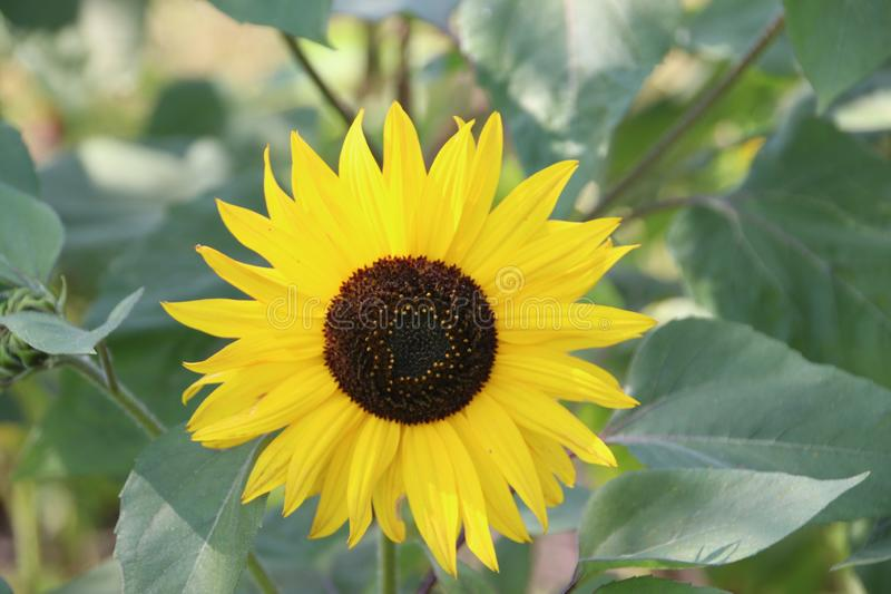 Head of the yellow sunflower in a garden in the Netherlands on the Veluwe stock photo