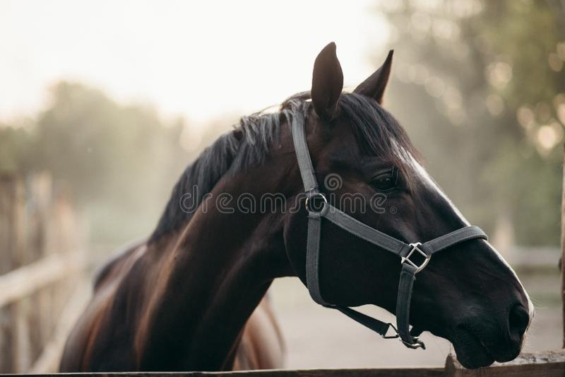 Head of the young black stallion with a bridle on his head. He is looking sidewards.  stock image