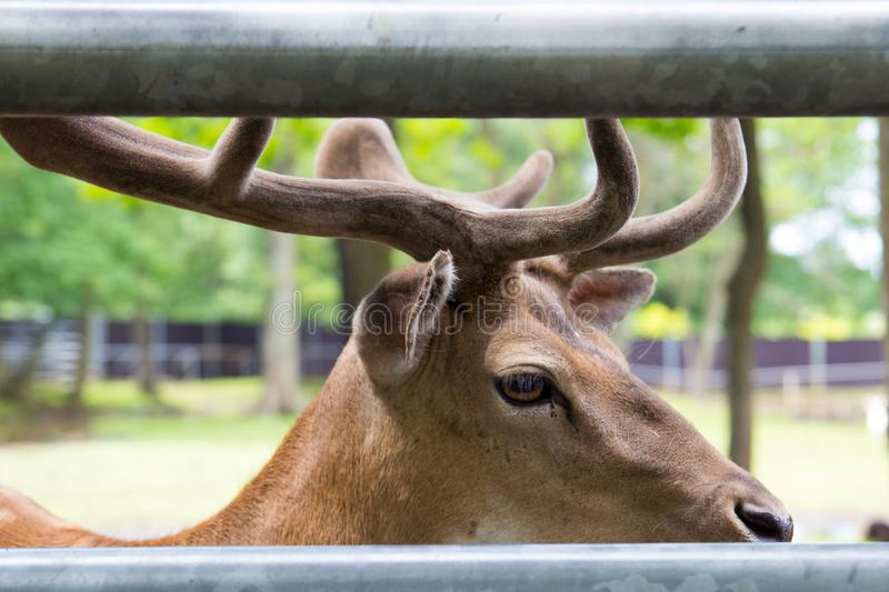 Head of a young king`s deer with antlers, deer behind the fence at the zoo stock images