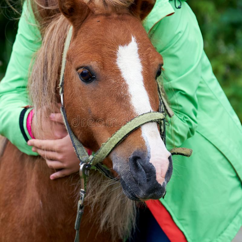 Head of an young pony colt in the arms of a teenage girl outdoors close up stock photo