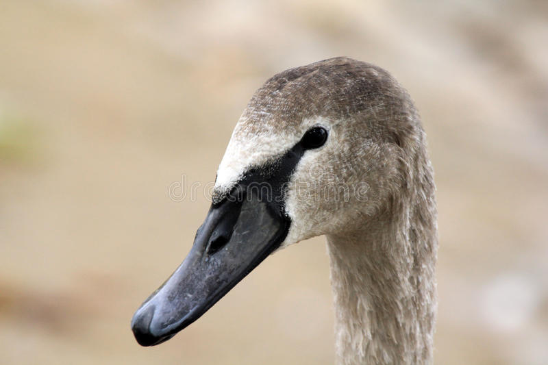 Download Head of young swan stock image. Image of bird, lake, young - 26812765