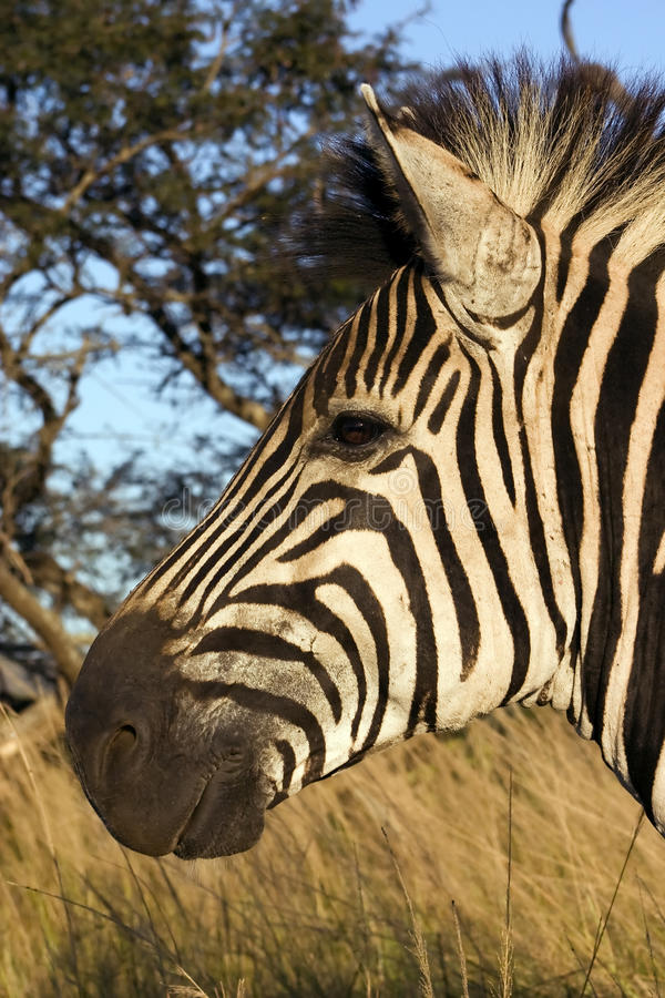 Download Head of a zebra stock photo. Image of golden, wildlife - 12705344