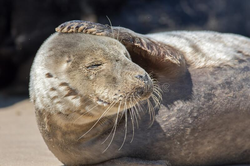 Headache. Funny animal meme image. Seal with a sore head stock image