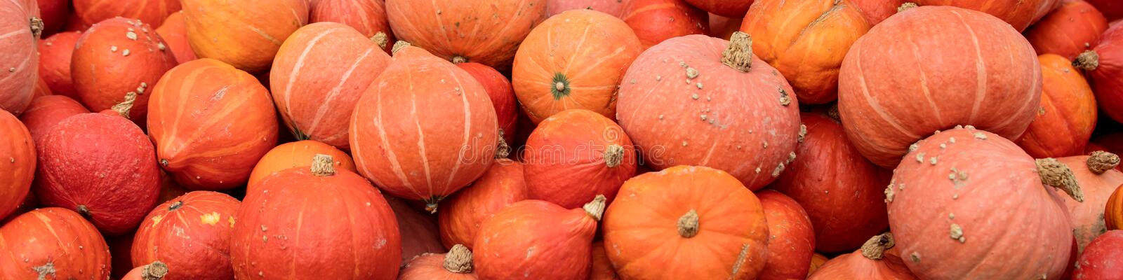 Header with a lots of hokkaido pumpkins, Red kuri squash background stock photo
