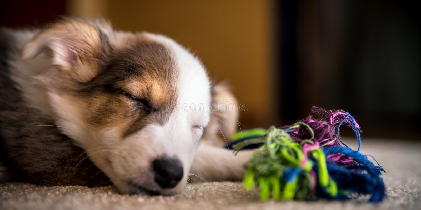 Header, Portrait of a cute mixed-breed Puppy with a Dog toy rope. Copyspace stock photos