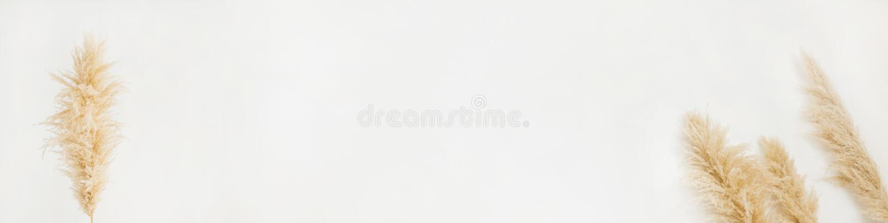 Header - trockene Pampasgras auf weißem Grund lizenzfreies stockbild