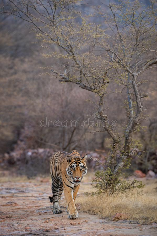 Wild male tiger panthera tigris on evening stroll and territory marking at summer safari in dry deciduous forest of Ranthambore. Headon image of Wild male tiger royalty free stock photos