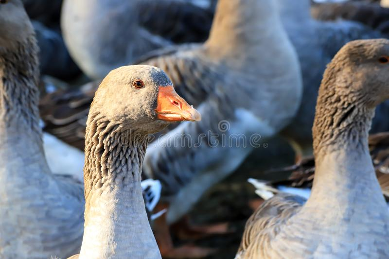 Heads of beautiful gray geese with orange beaks, perigord geese on a farm. royalty free stock photography