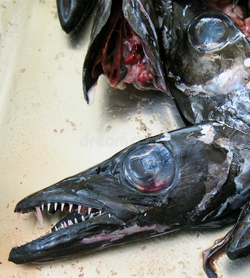 Heads of the black scabbard fish Aphanopus carbo left over from filleting on a market stall in funchal madeira. The heads of the black scabbard fish Aphanopus royalty free stock photography