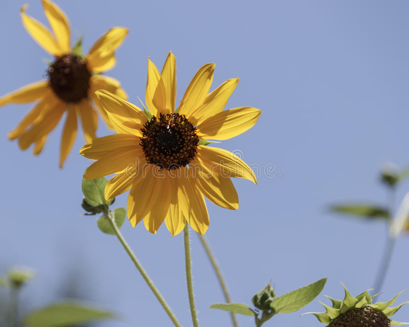 Heads of a decorative sunflower close-up stock images
