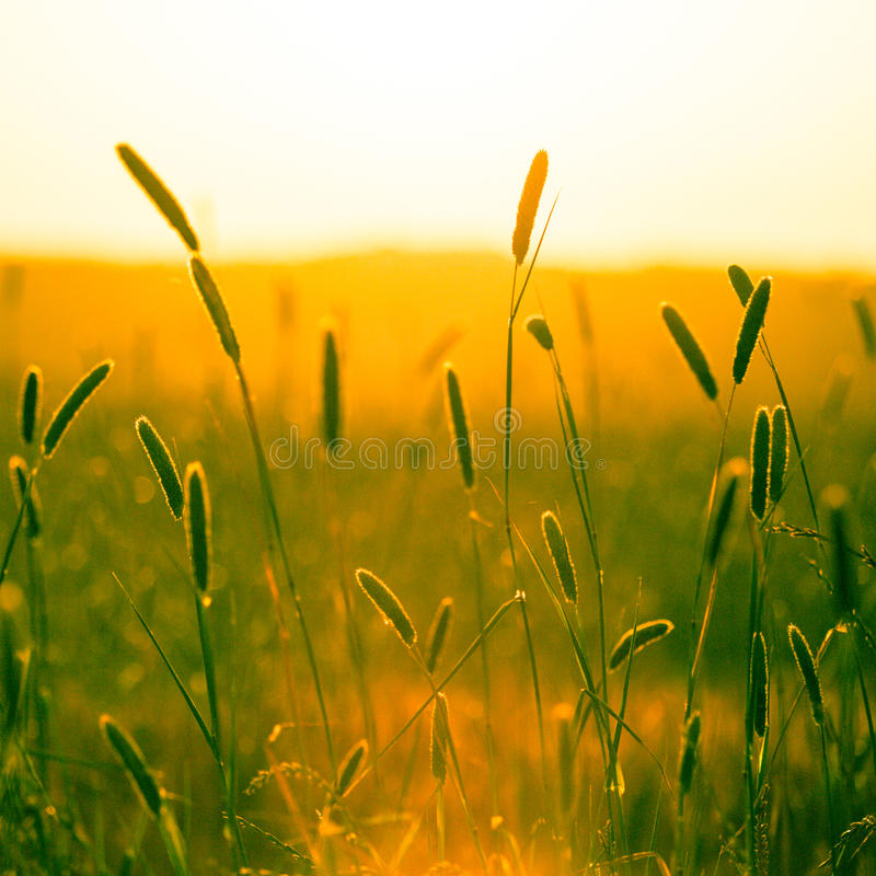 Heads of golden grain stretch out in fields at sundown with Inst royalty free stock photos