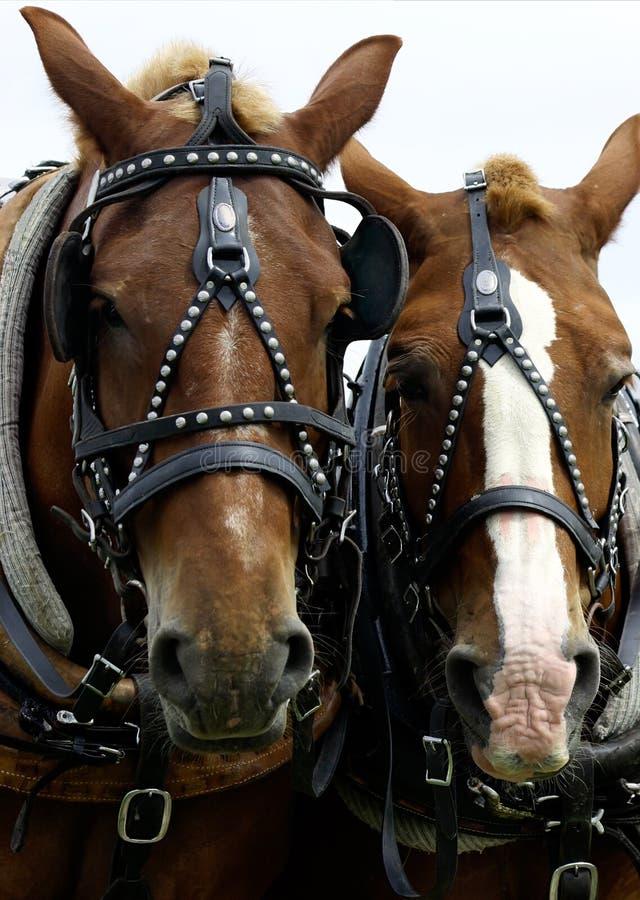 heads hästar två arkivbild