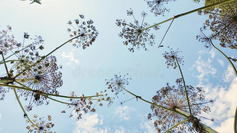 Heads of seeds of dangerous toxic plant Giant Hogweed. Low angle shot with blue skies on background. Mobile photography stock images