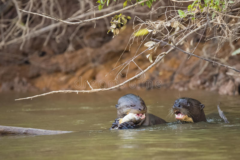 Heads Up: Two Wild Giant Otters Eating Fish and Screaming n River. In the muddy water under a bush by an embankment, one wild giant otter munches on a fish stock images