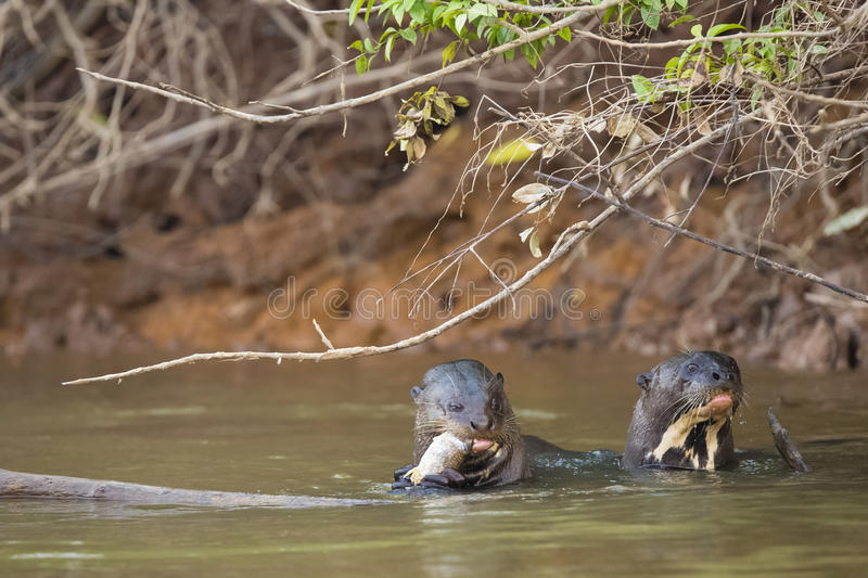 Heads Up: Two Wild Giant Otters Eating and Spy-Hopping Fish in River. In the muddy water under a bush by an embankment, one wild giant otter munches on a fish stock photos