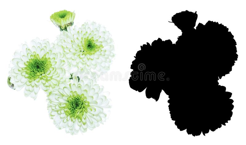 Heads of a chrysanthemum flowers with black alpha mask isolated on white background. Heads of a white chrysanthemum flowers with black alpha mask isolated on royalty free stock image