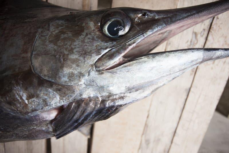 Headshot av en marlin eller en sailfish fotografering för bildbyråer