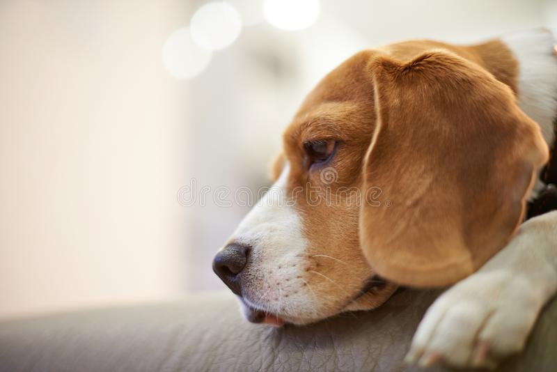 Headshot of beagle dog royalty free stock photography