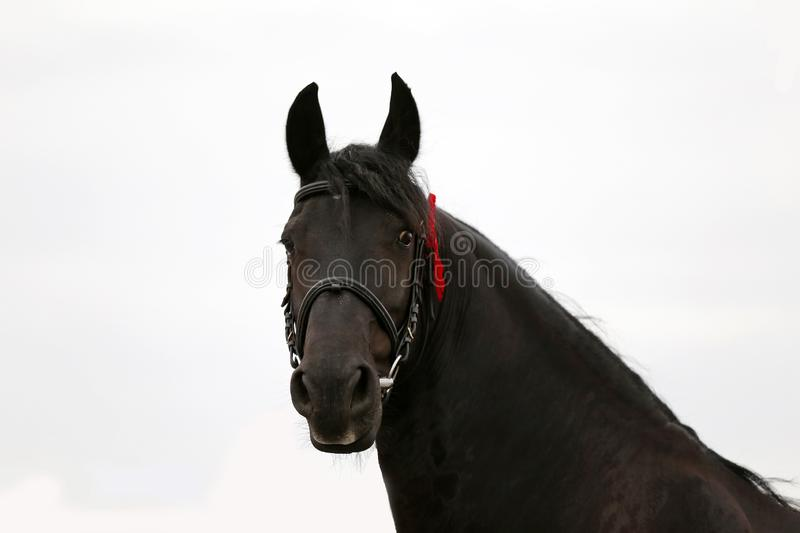 Headshot closeup of a purebred friesian horse. Headshot closeup of a purebred friesian stallion on full white background royalty free stock photography