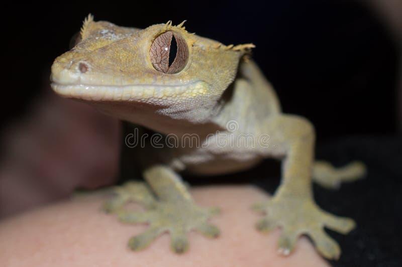 Headshot crêté de gecko photo stock