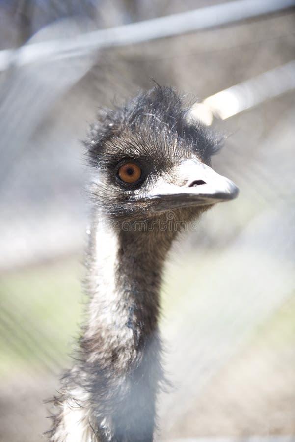 Headshot d'un émeu Portrait photo libre de droits