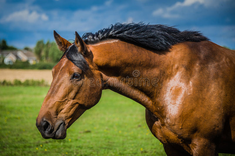Headshot de cheval de baie photo stock