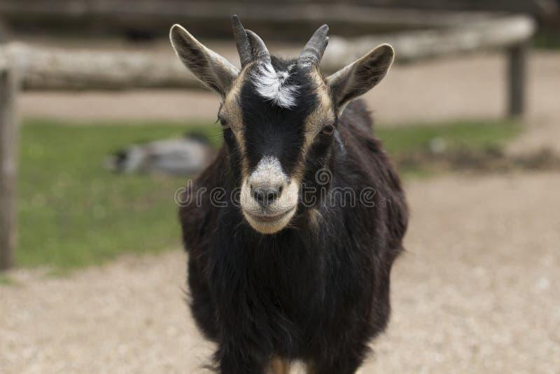 Headshot de la chèvre quatre à cornes photographie stock