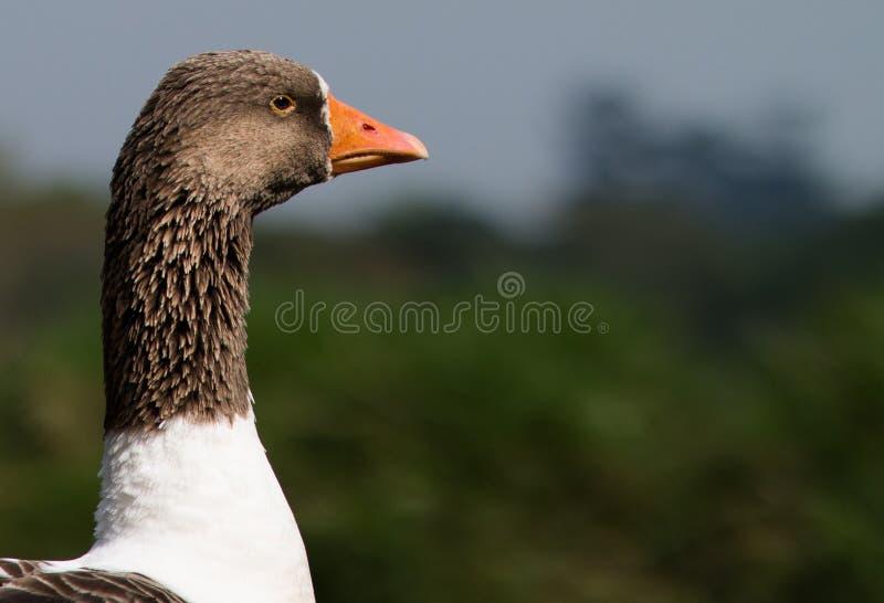 Headshot de um pato fotos de stock